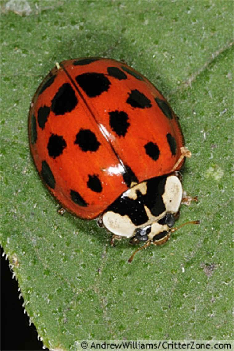 Asian Beetles 114