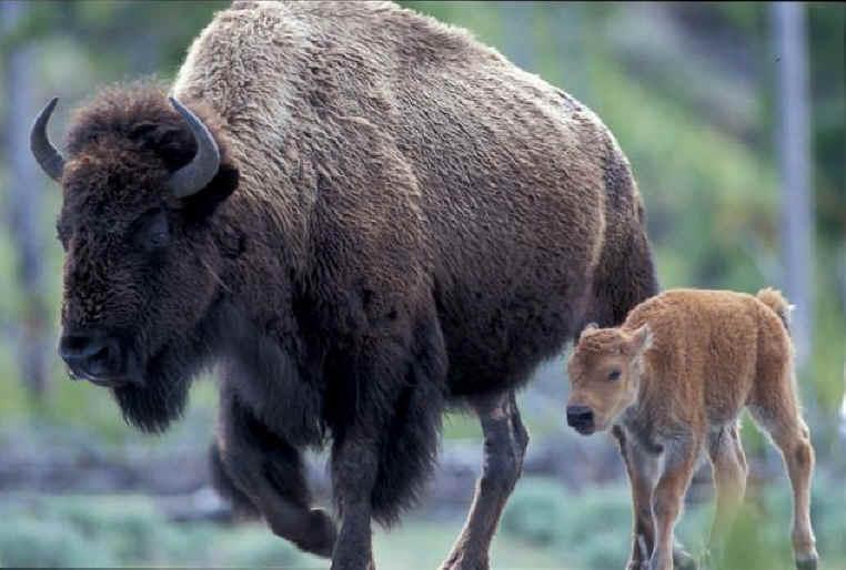 Dans la tête du bison