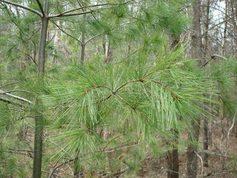 Eastern white pine works of the creator an all