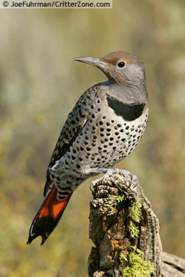 Northern Flicker (Colaptes auratus) - Our thanks to CritterZone Animal ...