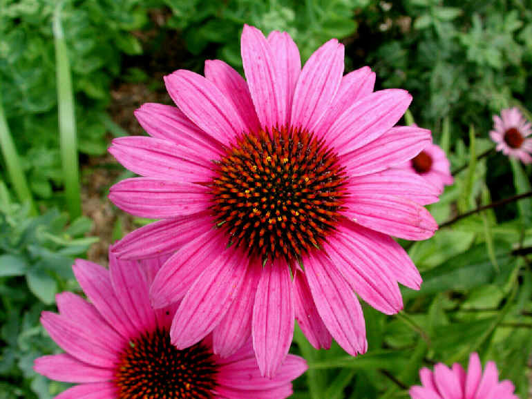Echinacea a herbal supplement for flu.