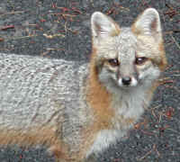 Our Neighbors The Foxes - Grey or Gray Fox (Urcyon cinereoargenteus)